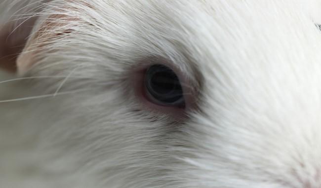 عفونت چشم در خوکچه هندی | دام و پت
