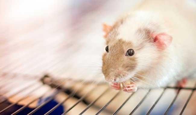 موش ها چه می خورند؟ // دام و پت