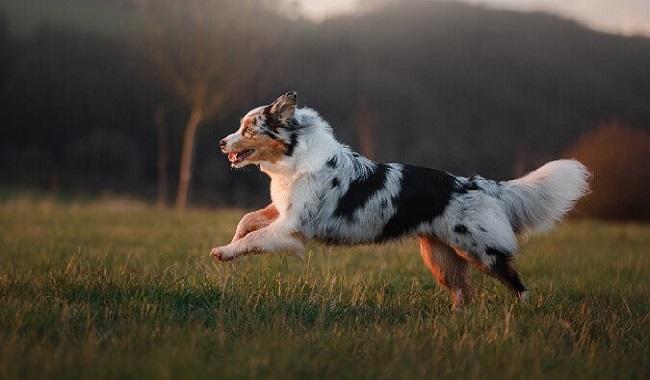 10 نژاد سریع ترین سگها