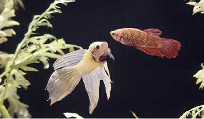 پوسیدگی دم و باله های ماهی های داخل آکواریوم // دام و پت