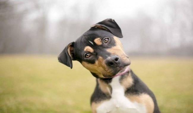 تحقیقات نشان می دهد بلوغ برای سگ ها نیز پرخاشگرانه است