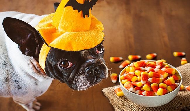 آیا سگ ها می توانند مواد غذایی قند دار بخورند؟ || دام وپت