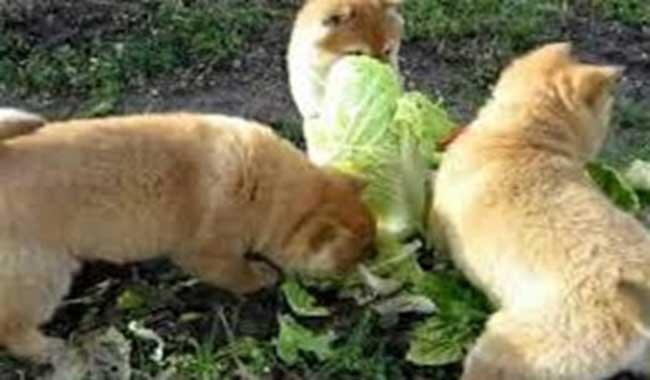 آیا سگها میتوانند کاهو بخورند؟ // دام و پت
