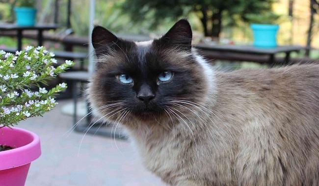 هشت نژاد گربه های چشم آبی | دام و پت