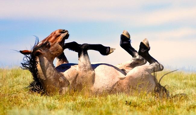 چرا اسب من غلت می خورد؟||دام وپت