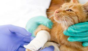 چگونه از گربه که پای آن شکسته مراقبت کنیم؟ | دام و پت