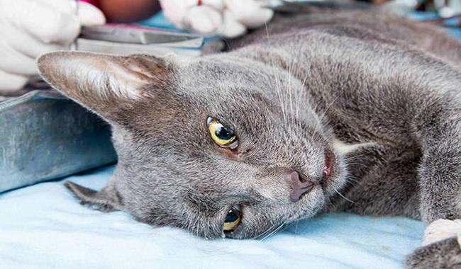علائم هاری در گربه ها | دام و پت