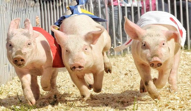 دوازده ویژگی خوک دوست داشتنی که لبخند را به لب های شما هدیه می دهند. ||دام وپت