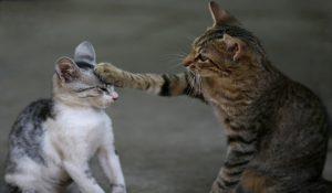 ویروس سرطان خون گربه | دام و پت