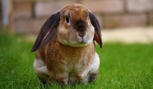 مقابله با چاقی در خرگوش ها | دام و پت