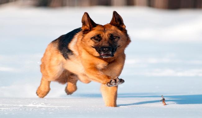 نژادهای سگ متناسب با آب و هوای سرد | دام و پت