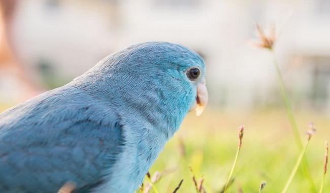 گونه های برتر طوطی های آبی | دام و پت