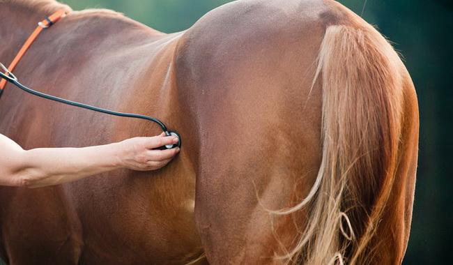 علائم و مراحل بارداری در اسب ها | دام و پت