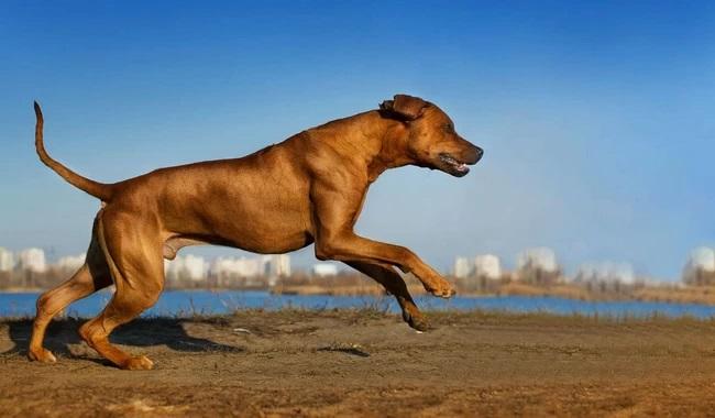 بهترین نژادهای سگ برای دونده ها | دام و پت