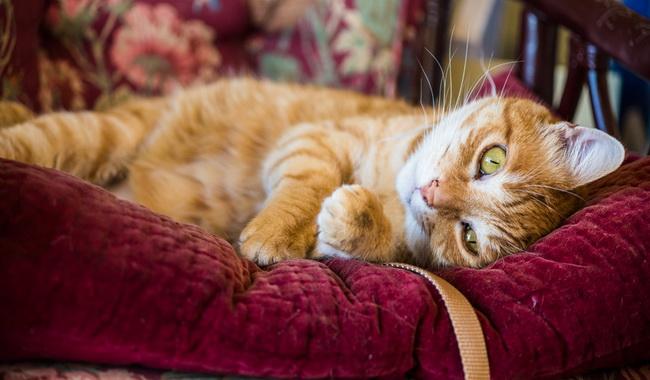 بیماری های شایع در گربه های سالخورده | دام و پت
