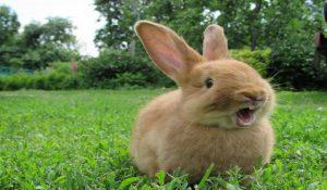 دندان های بزرگ در خرگوش ها | دام و پت