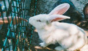 خارش در خرگوش 4 | دام و پت