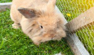 خارش در خرگوش 2 | دام و پت