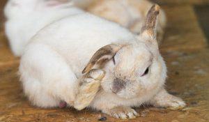 خارش در خرگوش 1 | دام و پت