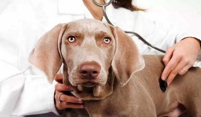 ورم معده در سگ چیست؟ 1 | دام و پت