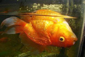 انواع بیماری ها در ماهی های زینتی | دام و پت