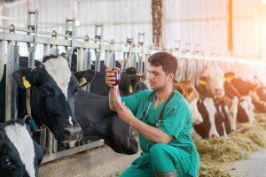 کتوز و کبد چرب در گاوها | دام و پت