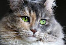مشکلات بینایی گربه ها   دام و پت