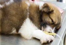 بیماری های کشنده اما قابل پیشگیری در سگ ها | دام و پت