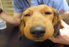 ورم صورت سگ | دام و پت