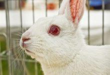 زالی در خرگوش ها | دام و پت