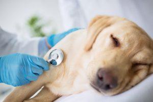مدیریت درد در حیوانات خانگی   دام و پت