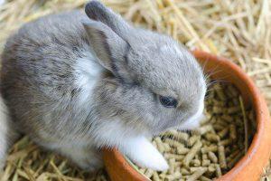 بهترین رژیم غذایی برای خرگوش ها   دام و پت