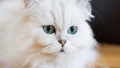 چگونه از یک گربه نژاد ایرانی مراقبت کنیم؟ | دام و پت