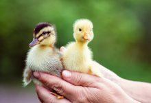 نگهداری از اردک ها | دام و پت