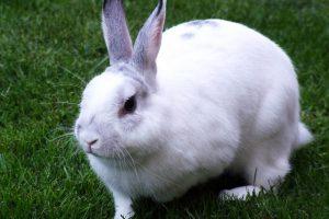 لنگیدن خرگوش 1 | دام و پت