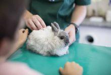 لنگیدن خرگوش 5   دام و پت