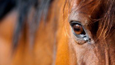 عفونت چشم اسب چیست؟ 1 | دام و پت