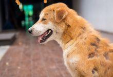 بیماری های پوستی کشنده در سگ و گربه | دام و پت