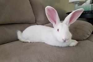زالی در خرگوش ها   دام و پت