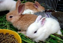 بهترین رژیم غذایی برای خرگوش ها | دام و پت