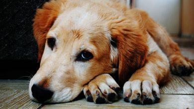 آنفلوانزای سگ | دام و پت