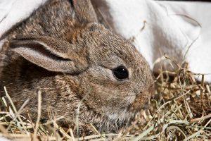 سرماخوردگی در خرگوش ها | دام و پت