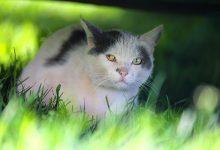 توکسوپلاسموز در گربه ها | دام و پت
