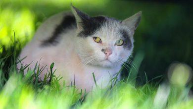 توکسوپلاسموز در گربه ها   دام و پت