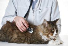 بیماری های قلبی در گربه ها کدامند؟ | دام و پت