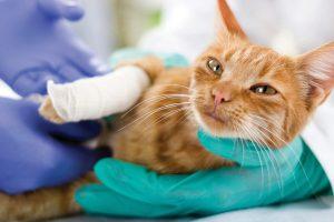 شکستگی اندام ها در گربه ها چگونه درمان می شود؟    دام و پت