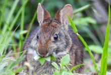 علت زیاد غذا خوردن خرگوش چیست؟   دام و پت