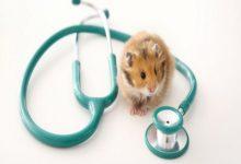 شایع ترین بیماری های همستر | دام و پت