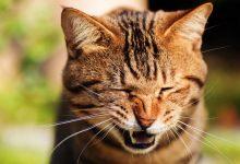 علت عطسه در گربه چیست؟ | دام و پت