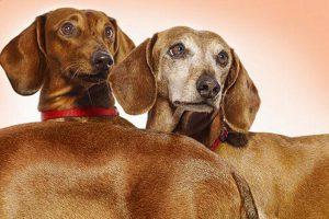 شیوع بیماری در نژاد سگ ها | دام و پت